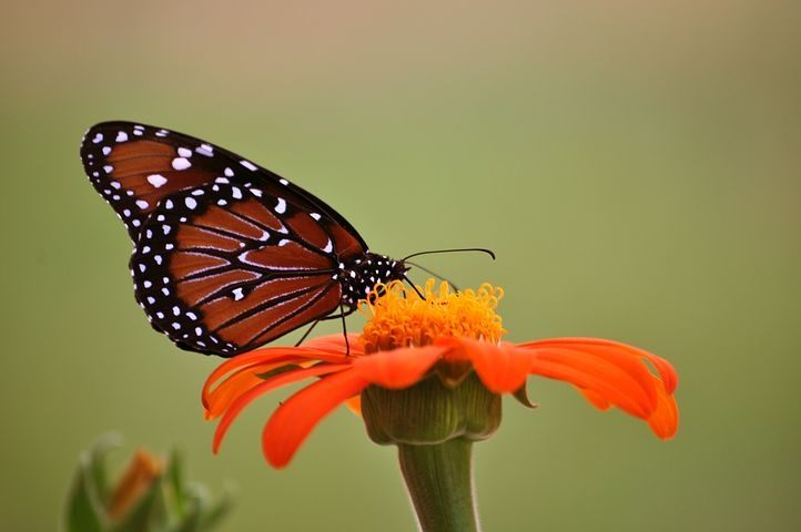 monarch-butterfly-2327958__480