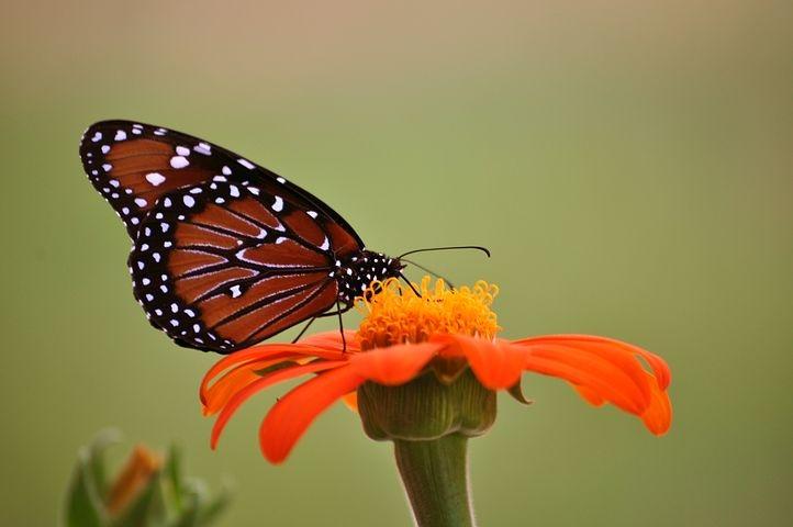 monarch-butterfly-2327958__480