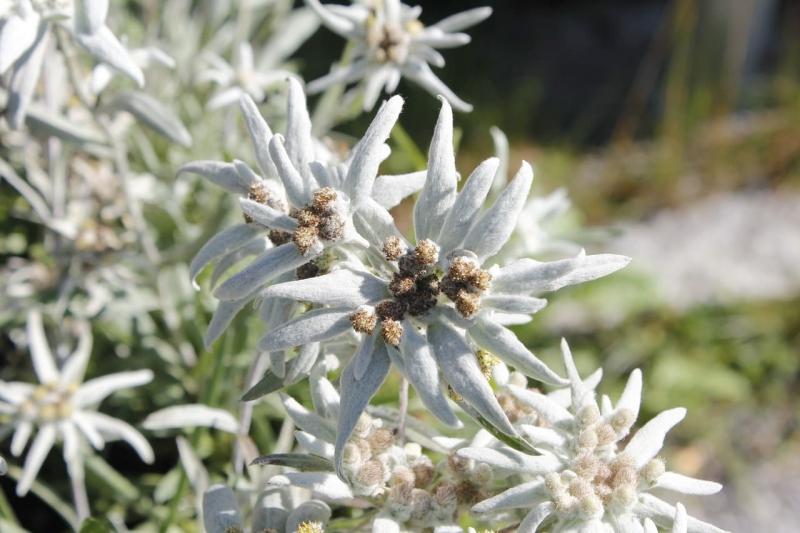 edelweiss-2399181_1280